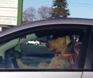 Il cane, lasciato in auto, chiama il padrone suonando il clacson