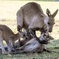Il piccolo canguro abbraccia per l'ultima volta la madre morta da poco