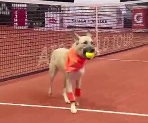 Cani randagi vengono portati sul campo per fare i raccattapalle