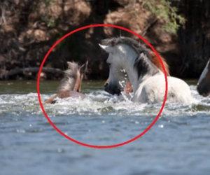 La puledra sta annegando nel fiume ma viene salvata dal capobranco