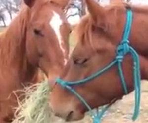 Il cavallo corre col fieno in bocca e porta il cibo alla sua fidanzata