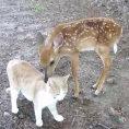 Il cerbiatto ed il micio sono diventati migliori amici, che dolcezza!