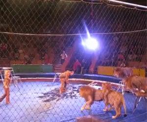 Circo: leoni aggrediscono i domatori