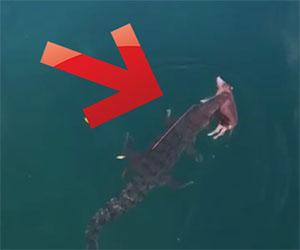 Un drone filma un coccodrillo che trasporta un maiale intero