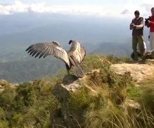 Un condor viene rimesso in libertà dopo due anni
