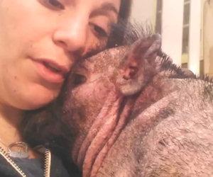 Questo maialino è terrorizzato, ecco cosa fa la padrona per calmarlo
