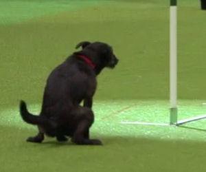 Corsa ad ostacoli per cani, fail