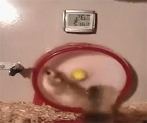Questi criceti da corsa vanno troppo veloce sulla ruota