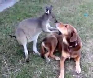 Cucciolo di canguro flirta con un cane