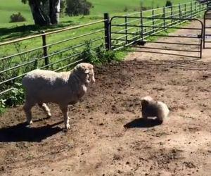Un cucciolo ambizioso cerca di radunare le pecore e fa ridere tutti