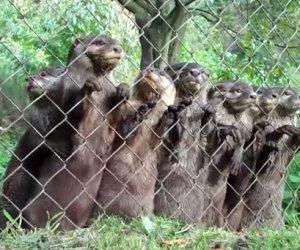 Il custode si avvicina alle lontre, la loro reazione è divertentissima