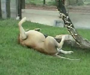Questo leone ha vissuto 13 anni in un circo, adesso torna libero