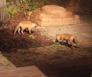 Il modo in cui queste due dolcissime volpi giocano ti conquisterà il cuore