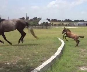 Il cavallino non sa come superare il muro, la mamma gli insegna