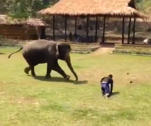 Un uomo cade a terra, ciò che fa l'elefante fa venire la pelle d'oca
