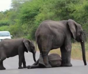 Un elefantino sviene per strada, ecco come la sua famiglia lo aiuta