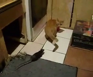 Enorme ratto attacca un gatto