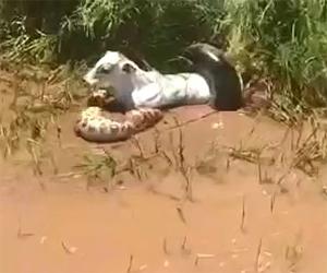 Enorme serpente attacca una mucca e la mangia