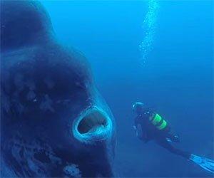 Un sub si trova faccia a faccia con un raro pesce gigante