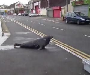 Una foca ogni giorno attraversa la strada per andare al ristorante