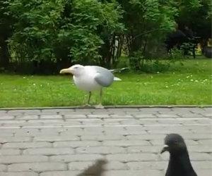 Gabbiano mangia un uccello vivo