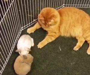 Mettono una gatta nel recinto dei conigli, ecco cosa succede