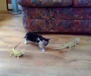 Gattino contro due iguana