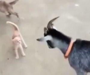 Un piccolo gattino coraggioso sfida una capretta che vuole attaccarlo