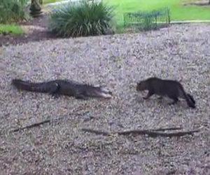 Gatto affronta un alligatore