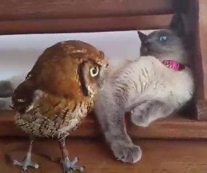 Gatto e civetta giocano insieme