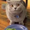 In pochi secondi questo gatto colpevole vi farà rotolare dalle risate