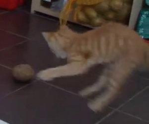 Il gattino sfida una minacciosa patata, chi vincerà?