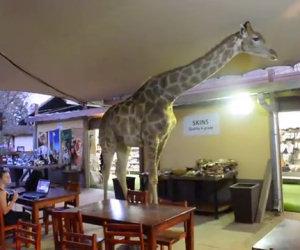 Giraffa si aggira per il ristorante