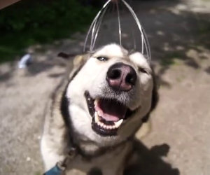Husky ama i massaggi in testa