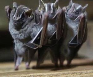 I pipistrelli danzanti