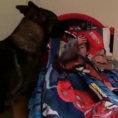 Ogni sera il cane rimbocca le coperte e da un bacio al bambino