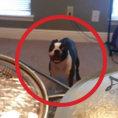 Questo cane non ama la batteria, la sua soluzione? Divertentissima