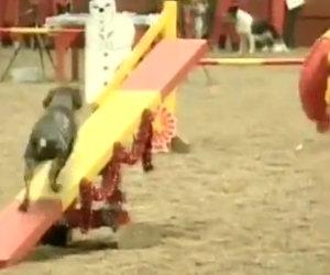 Il cane più veloce al mondo si esibice, da non credere!!