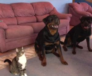 I due cani sono ben addestrati, il loro amico gatto li imita