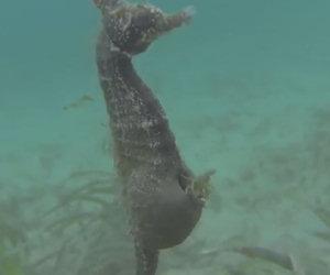 Un cavalluccio marino si ferma davanti ad un sub e partorisce
