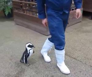 Il dolce pinguino che insegue il custode di uno zoo giapponese
