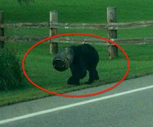 Un orso ha la testa incastrata, qualcuno trova il coraggio di agire