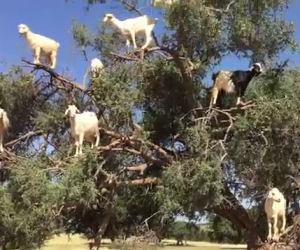 Ecco come queste capre riescono ad arrampicarsi sugli alberi