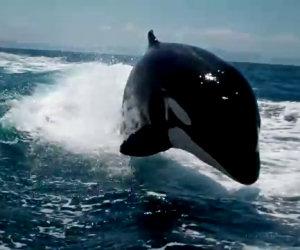 Incontro ravvicinato con le orche marine