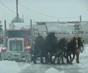 Quattro cavalli enormi in fila davanti a un tir, ecco la loro potenza