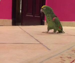 La risata diabolica di un pappagallo che entra nella stanza