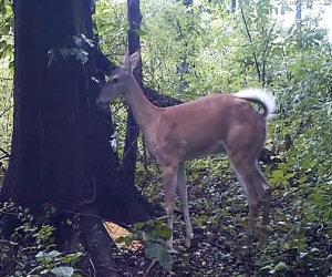 La scorreggia di un cervo