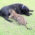 Un cucciolo di tigre abbandonato viene adottato da un labrador