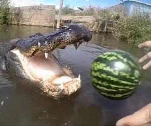 Lancia un'anguria ad un coccodrillo, ecco cosa succede...