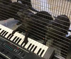Lontre suonano la tastiera